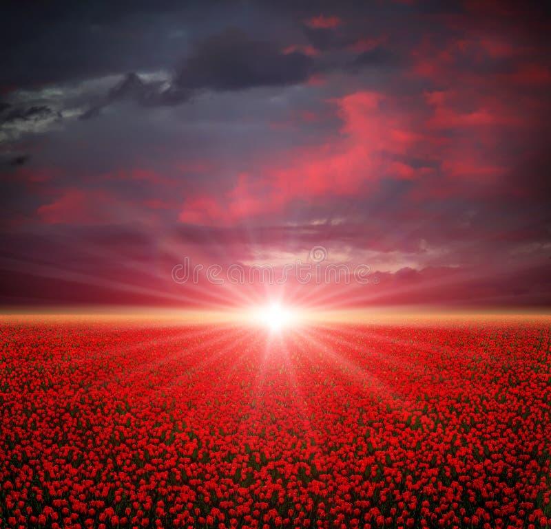 Het gebied van tulpen bij zonsondergang royalty-vrije stock fotografie