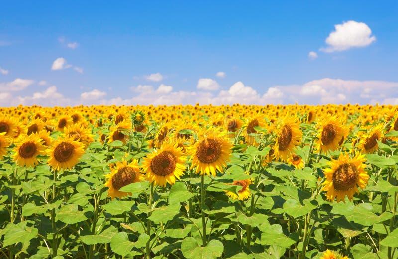 Het gebied van zonnebloemen royalty-vrije stock foto