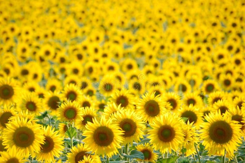 Het gebied van zonnebloemen royalty-vrije stock foto's