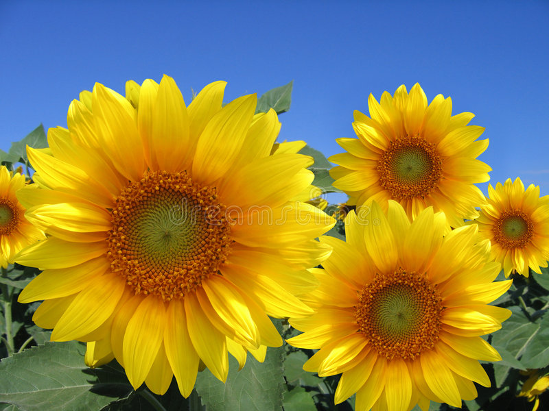 Het gebied van zonnebloemen