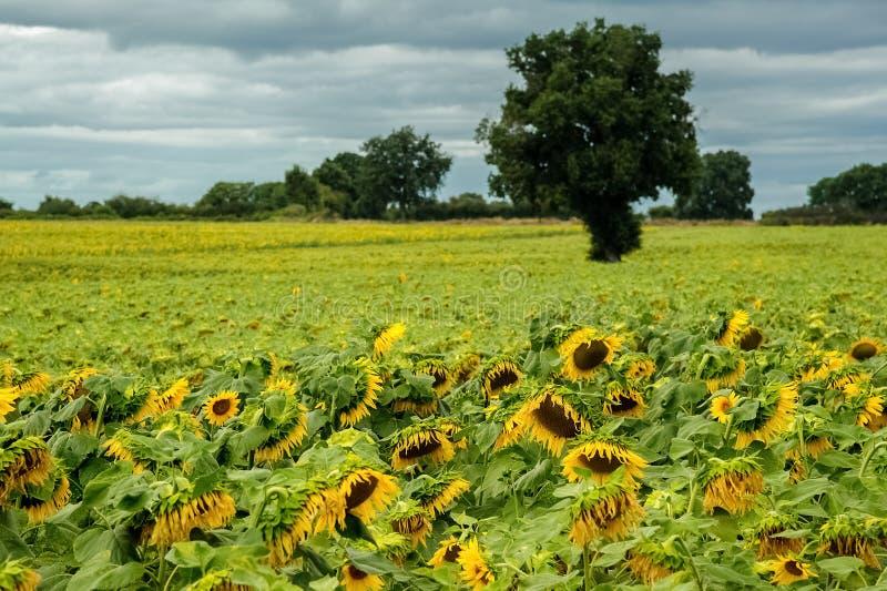 Het gebied van zonnebloemen stock afbeelding