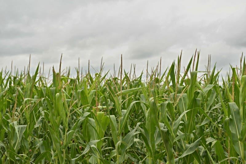 Het gebieds dichte omhooggaand van het graan stock fotografie