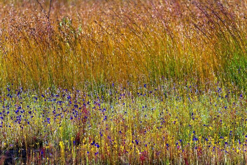 Het gebieds geel gras van de Utricularia delphinoides mengeling stock foto