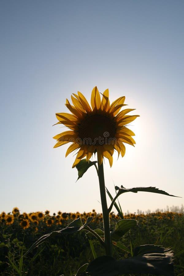 Het gebiedsclose-up 1 van de zonnebloem stock afbeelding