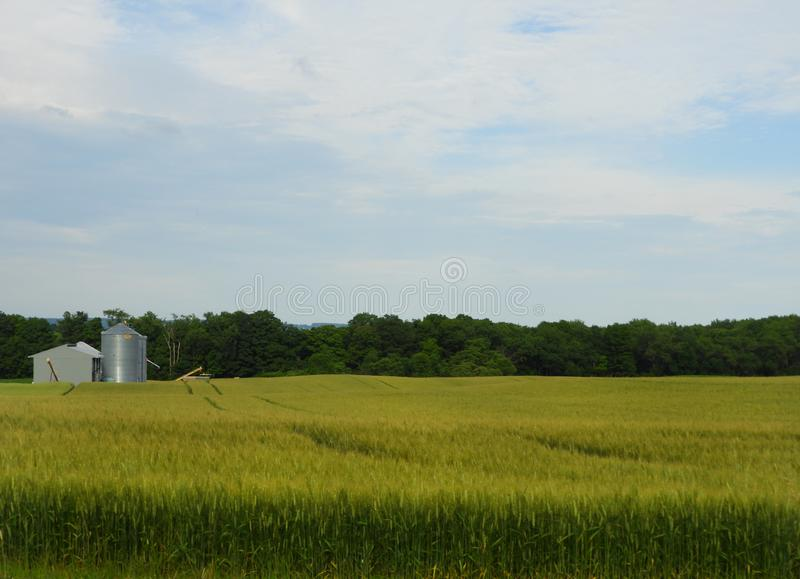 Het gebiedslandbouwbedrijf van de gerstkorrel in Juni in NYS stock fotografie