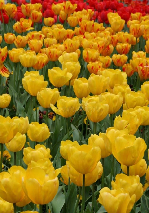 Het gebiedsverticaal van tulpen royalty-vrije stock afbeeldingen