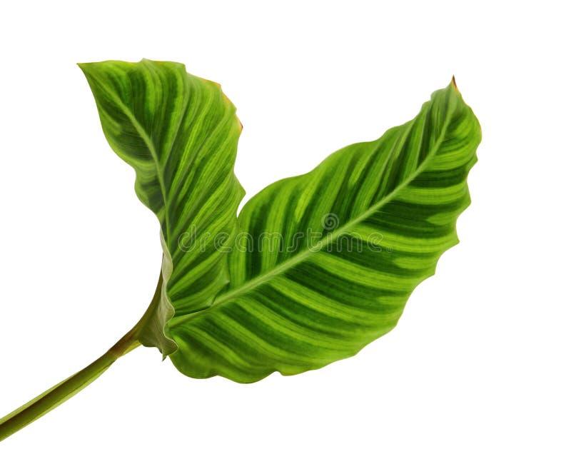 Het gebladerte van Calatheazebrina of Gestreepte installatie, Exotisch tropisch die blad, op witte achtergrond met het knippen va royalty-vrije stock afbeelding