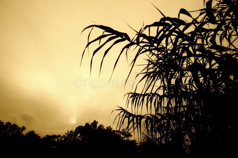 Het gebladerte van het suikerriet het plaatsen zon stock afbeeldingen