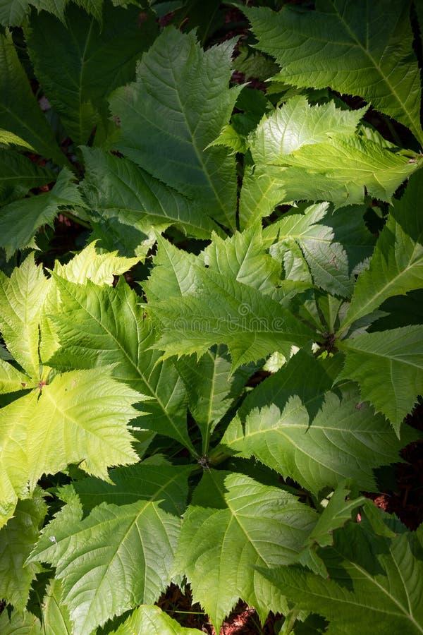 Het gebladerteinstallatie van Rodgersiasambucifolia in de tuin stock afbeelding