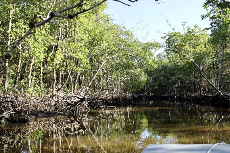 Het gebruiken van een airboat om mangroven te zien royalty-vrije stock fotografie