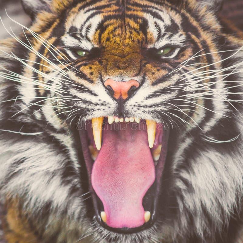 Het gebrul van Sumatran-tijger die tanden tonen royalty-vrije stock fotografie