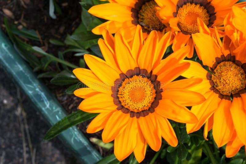 Het gedetailleerde beeld van kleurrijke gele aan oranje Gazania rigens waardeert bloem in een tuin royalty-vrije stock fotografie