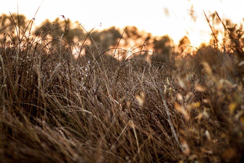 Het geel-bruine close-up van het de herfstgras bij zonsondergang dichtbij het bos stock foto's