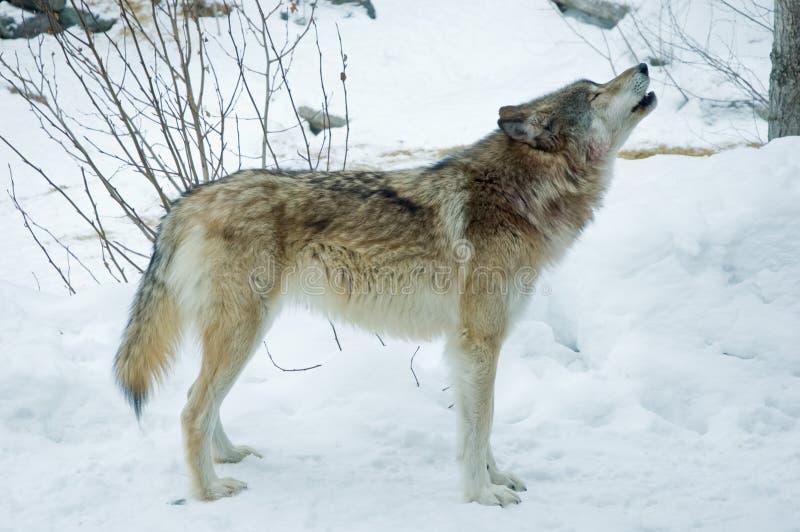 Het Gehuil van de grijze of Wolf van het Hout stock foto
