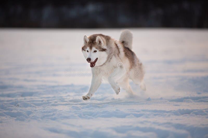 Het gekke, gelukkige en leuke beige en witte hondras Siberische schor lopen op de sneeuwweg op het gebied royalty-vrije stock foto's