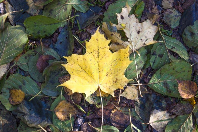 Het gele blad van de de herfstEsdoorn stock foto's