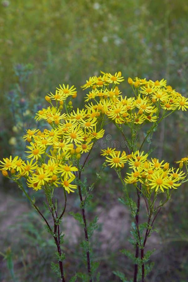 Het gele bloeien Ragwort Algemene namen: Vulgaris Jacobaea, Senecio-jacobaea royalty-vrije stock afbeeldingen