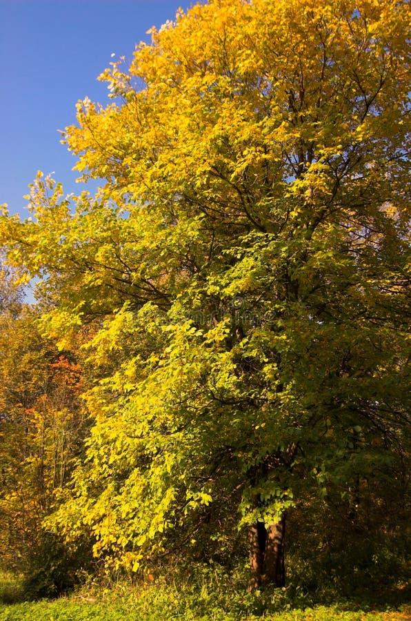 Het gele bos van de herfst stock afbeeldingen