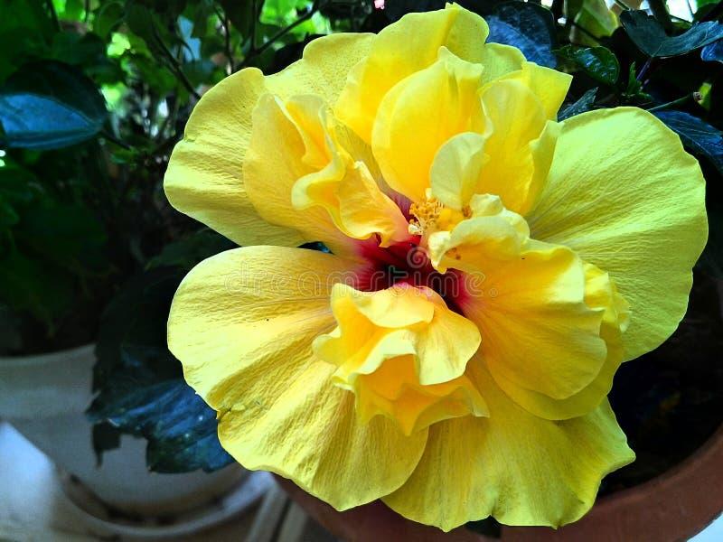 Het gele close-up van de Hibiscusbloem in volledige bloei stock afbeeldingen