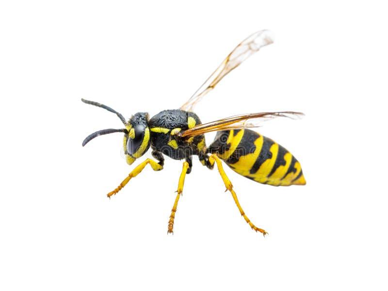 Het gele die Insect van de Jasjewesp op Wit wordt geïsoleerd stock foto