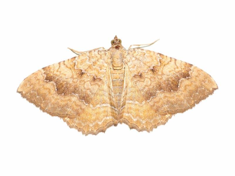 het gele die shell dier van het motteninsect over wit wordt geïsoleerd stock foto's