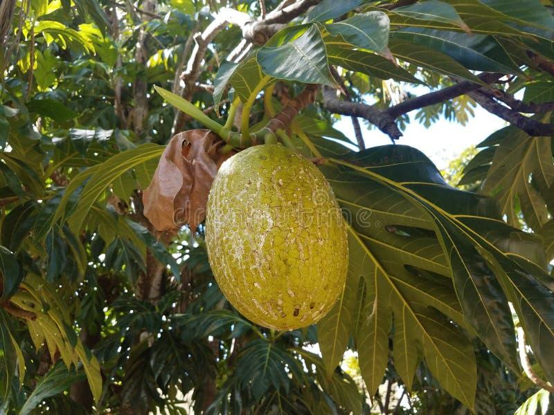 Het gele en groene broodvruchtenfruit hangen van boom in Puerto Rico royalty-vrije stock afbeeldingen