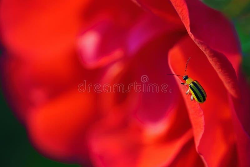 Het gele en zwarte insect op rood nam toe stock foto's