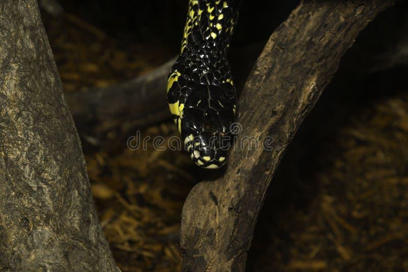 Het gele en zwarte slang hangen neer tussen boomtakken royalty-vrije stock afbeelding
