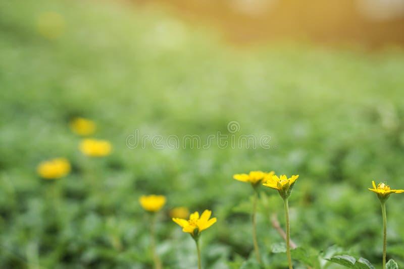Het gele gebied van Daisy royalty-vrije stock afbeelding
