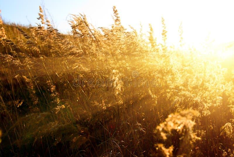Het gele gras van de herfst royalty-vrije stock afbeeldingen