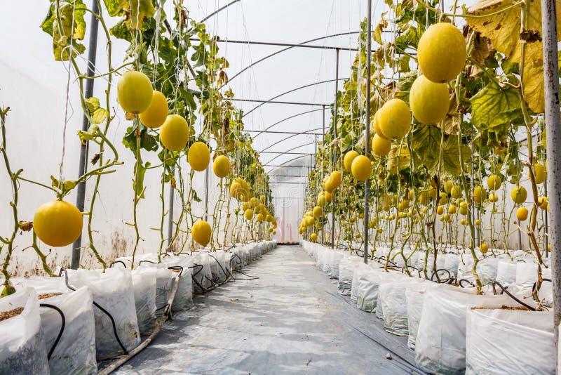 Het gele Kantaloepmeloen groeien in een serre royalty-vrije stock fotografie