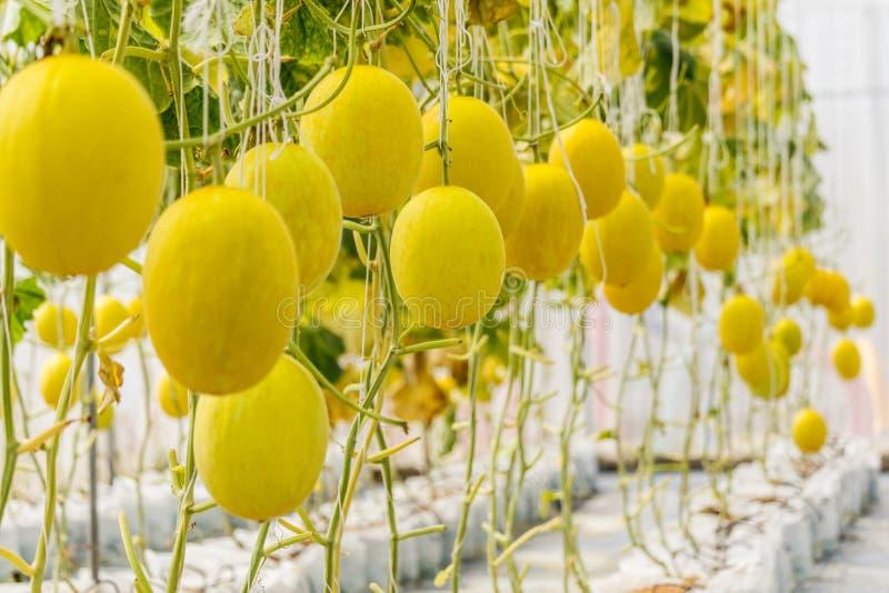 Het gele Kantaloepmeloen groeien in een serre stock fotografie