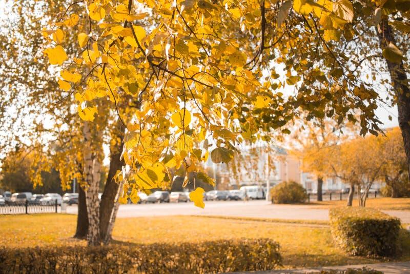 Het gele landschap van de de bladerenboom van de de herfstberk Samenstelling in park royalty-vrije stock afbeelding
