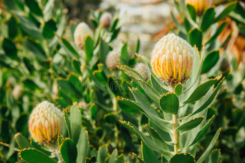 Het gele proteaspeldenkussen bloeit, Leucospermum-cordifolium in Koningenpark, Perth, WA, Australië stock afbeelding