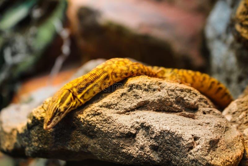 Het gele reptiel rusten op een rots royalty-vrije stock fotografie