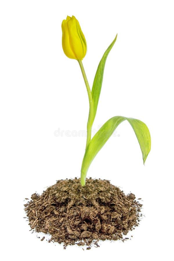 Het gele tulpenbloem groeien in de grond stock foto