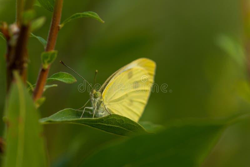 Het gele vlinder verbergen in doorbladert royalty-vrije stock afbeelding