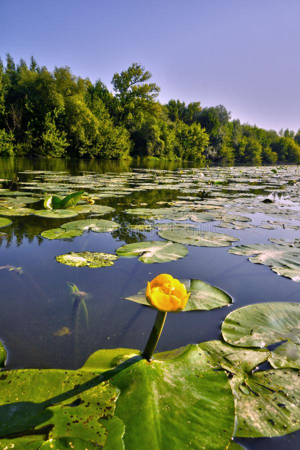 Het gele water bloeit lilly stock afbeeldingen