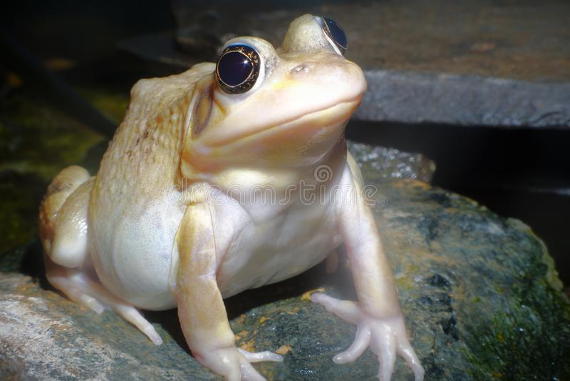 Het gele wilde amfibie dierlijke milieu van de kikkerbrulkikvors stock fotografie