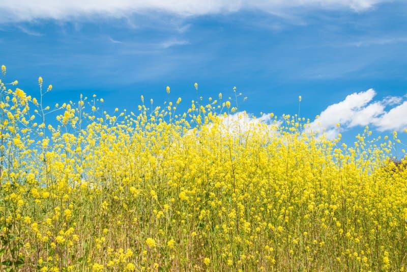 Het gele wilde de bloemen van Californië bloeien stock afbeeldingen