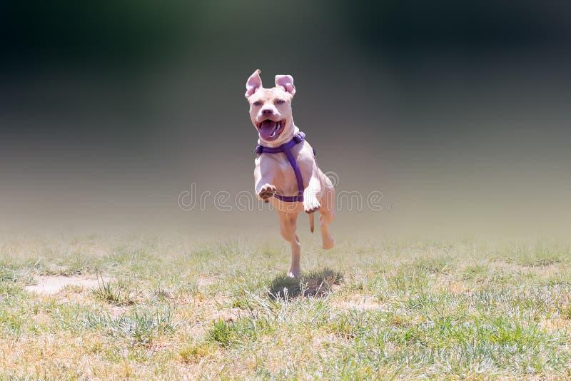 Het gelukkige Amerikaanse lopen van kuilbull terrier royalty-vrije stock foto's