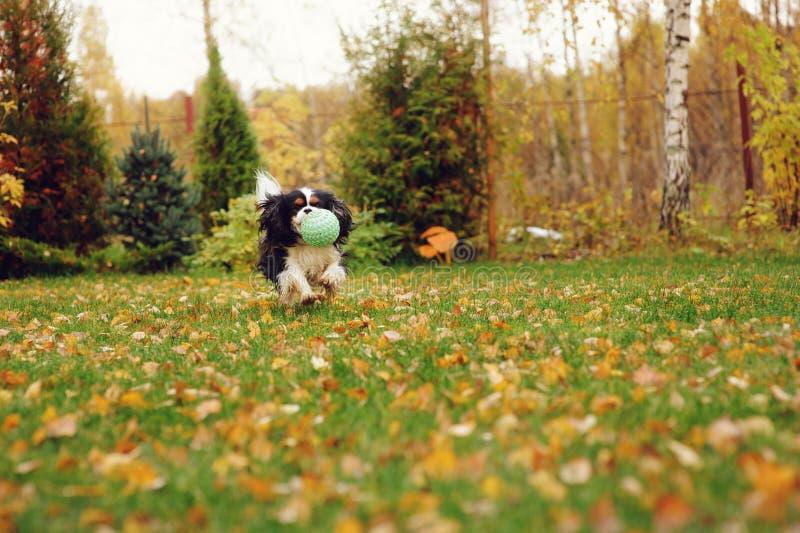 Het gelukkige arrogante het spanielhond van koningscharles spelen met stuk speelgoed bal royalty-vrije stock foto's