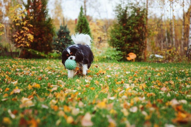 Het gelukkige arrogante het spanielhond van koningscharles spelen met stuk speelgoed bal stock afbeelding