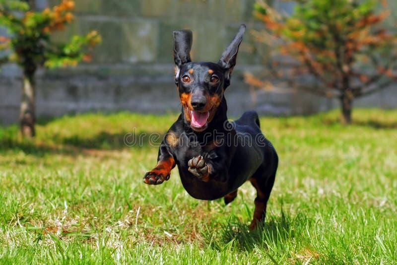 Het gelukkige hond Duitse haired dwergtekkel spelen in de achtertuin stock fotografie