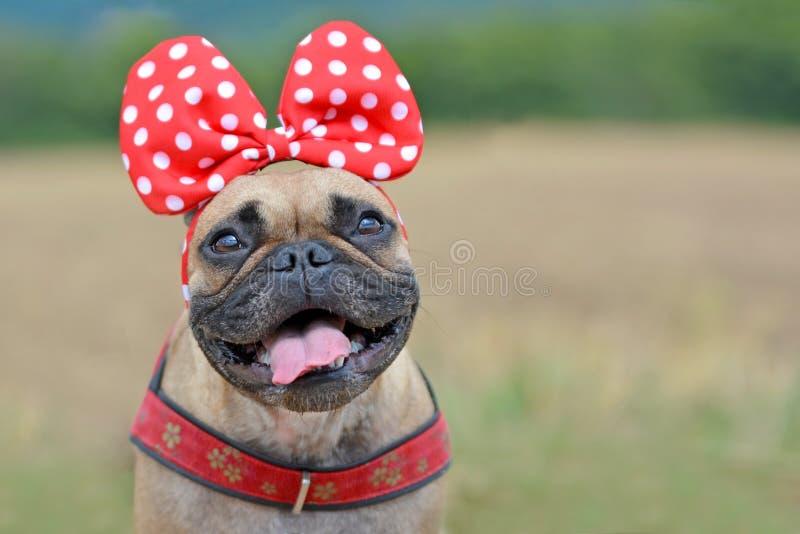 Het gelukkige kijken fawn het Franse meisje van de Buldoghond met het glimlachen gezicht met tounge uit en groot rood lint op hoo royalty-vrije stock foto's