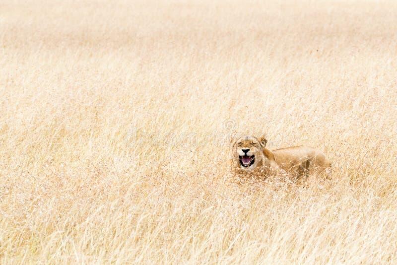 Het gelukkige Leeuwin Verbergen in Lang Gras van Kenia royalty-vrije stock afbeelding