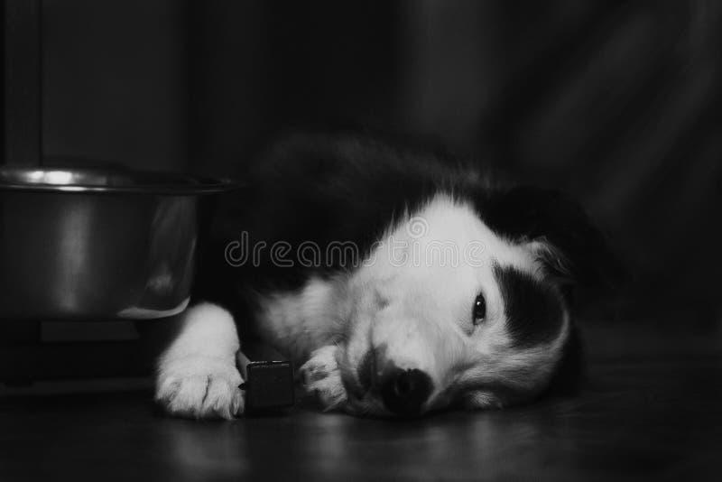 Het gelukkige mooie zwart-witte border collie-puppy luying op zijn eigenaar royalty-vrije stock fotografie