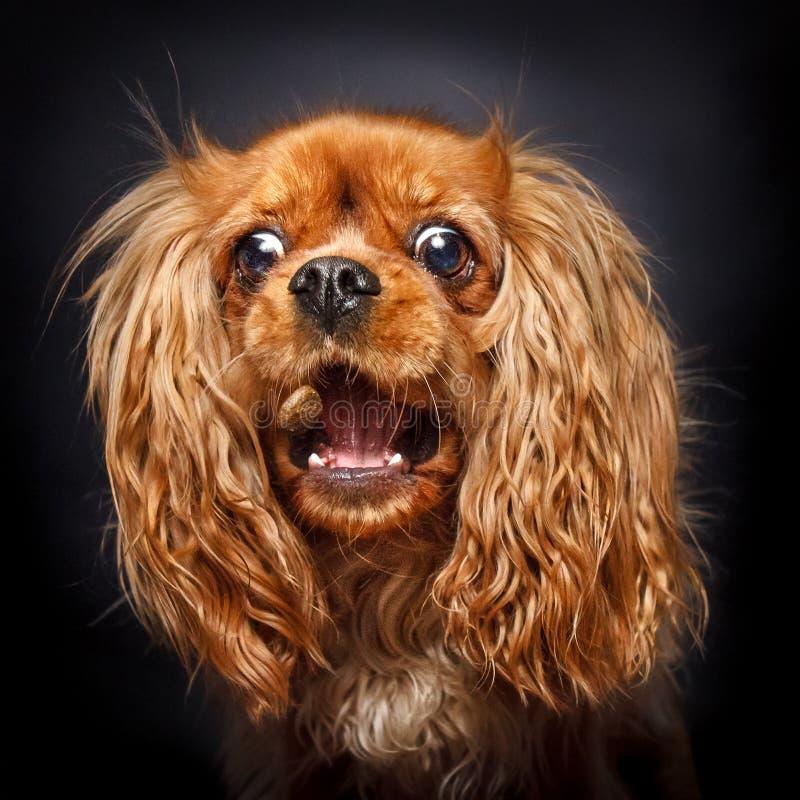 Het gelukkige robijnrode arrogante het spaniel van koningscharles vangen behandelt royalty-vrije stock foto