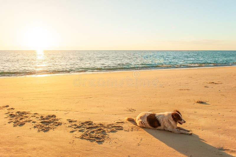 Het gelukkige Thaise hond ontspannen of zonnebaadt op gouden zandstrand onder warm zonsonderganglicht Tai Muang Beach, Phang Nga, royalty-vrije stock foto's