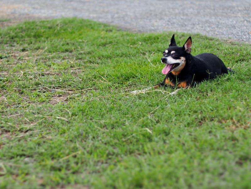 Het gelukkige zwarte vette mooie leuke oude miniatuurpincherhond het dansen rollen openlucht op groene grasvloer stock fotografie